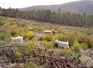 springtime goat