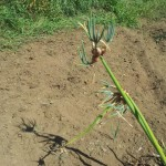 Walking onions