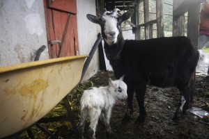 goat kid and mum