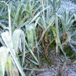 winter leeks