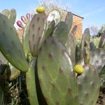 Easter cacti