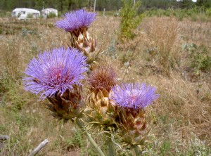 Cardoon postcard