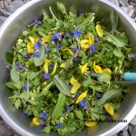 Freshly foraged salad. There's a bit of cabbage in there, otherwise all wild plants. Mainly chickweed, with dandelion and sheep's sorrel. The flowers are broom and purple gromwell in this case.