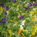 The edible flowers in this mainly foraged salad are broom, viper's bugloss, calendula, and cabbage. With one of my favourite salad dressings which has a splash of elderflower cordial in it.