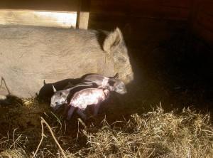Piglets 2