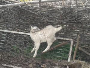 Stuck goat